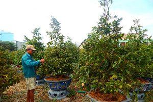 TPHCM: Nhà vườn trồng mai tất bật vào vụ tết