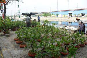 Hoa kiểng miền Tây tấp nập về TP Hồ Chí Minh