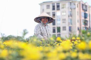 Người trồng hoa Tết ở Sài Gòn phấn khởi vì thời tiết ủng hộ