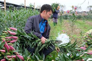 Hoa ly nở sớm, nông dân Tây Tựu xót xa thu hoạch