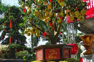 Bưởi Diễn Hưng Yên 70 triệu bất ngờ xuất hiện tại Sài Gòn