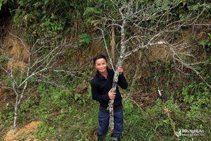Những cành đào đá tiền triệu bắt đầu xuất hiện ở vùng cao Nghệ An