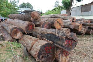 Nhận tiền của 'trùm' gỗ lậu Phượng 'râu', trạm trưởng bảo vệ rừng bị khởi tố