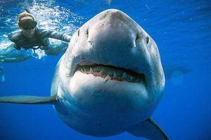 Cá mập trắng khổng lồ: Rất hiền và... đẹp