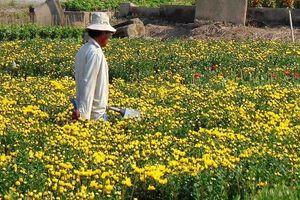 Sau cơn bão số 9, người trồng bông tết tươi như hoa