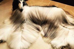 Chú chó săn có bộ lông dài cả mét ấn tượng, mềm mại như nhung
