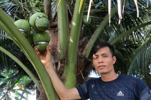 Dừa hồ lô - sản phẩm miền Tây đón Tết