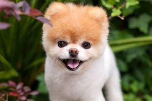 Chú chó dễ thương nhất thế giới qua đời vì nhớ bạn