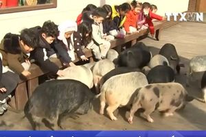 Du khách thích thú khám phá bảo tàng lợn tại Hàn Quốc