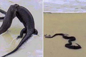 Kinh dị cảnh rắn độc ăn thịt thằn lằn khổng lồ giữa bãi biển