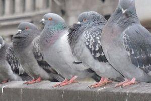 Chim bồ câu 'bậy' trong bệnh viện, 2 bệnh nhân thiệt mạng
