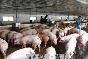 Thừa Thiên - Huế không phát sinh thêm lợn mắc bệnh lở mồm long móng