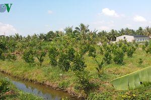 Nông dân Tiền Giang ồ ạt trồng cây ăn trái trên đất ruộng vùng ngập lũ