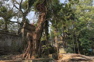 Sự thật thông tin trưởng thôn bán trộm cành cây sưa trăm tỷ đồng ở Hà Nội