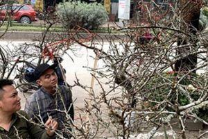 Hoa Tết: Đào rừng mốc trắng đội giá xuống Thủ đô