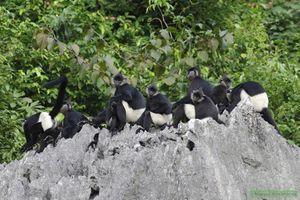 Sẽ thành lập Khu Bảo tồn loài và sinh cảnh Voọc Mông trắng tại Hà Nam