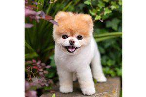 Chú chó đáng yêu nhất thế giới qua đời