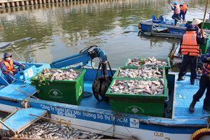 Cá chết trên kênh Nhiêu Lộc - Thị Nghè: Tiếp tục giảm đàn cá để phòng ngừa