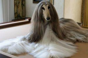 Ngỡ ngàng với chú chó săn có bộ lông ấn tượng nhất thế giới
