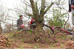 Vụ hàng trăm gốc đào bị phá hoại ở Bắc Ninh: Chủ vườn tự sát tử vong