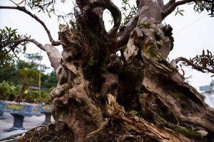 Độc lạ cây đỗ quyên 400 năm tuổi, được 'quát' giá gần 1 tỉ tại Hà Nội