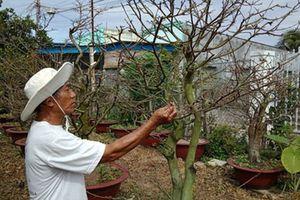 Bình Thuận: 'Khóc ròng' vì mai nở sớm