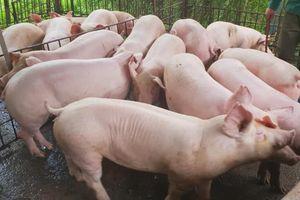 Cận Tết Nguyên đán, giá lợn hơi tăng nhẹ