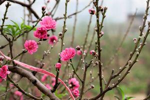 Mùa Tết, khách ưng đào đẹp cố trả thêm tiền triệu mà chủ vườn vẫn... 'làm kiêu'