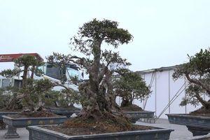 Cận cảnh cây đỗ quyên 300 năm tuổi, đại gia Lào Cai 'hét giá' 1 tỷ