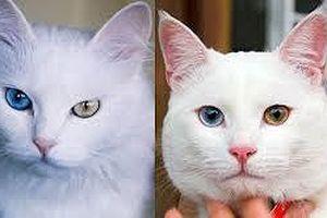Top 10 giống mèo kỳ lạ nhất hành tinh