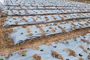 Lạng Sơn: Nông dân chủ động phòng chống rét cho rau màu vụ Đông Xuân