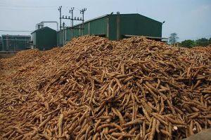 6 tháng đầu năm 2019: Xuất khẩu sắn tiếp tục gặp khó