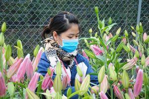 Hoa đua nhau rớt giá, người dân Mê Linh lo mất tết