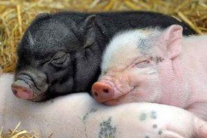 Những điều bất ngờ và thú vị về loài lợn
