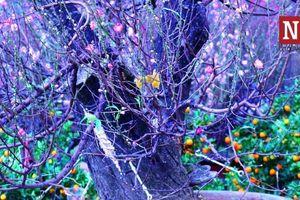 Đào rừng cổ thụ giá 'khủng' tưng bừng khoe sắc giữa lòng Sài thành