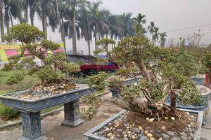 Hà Nội: Hoa đỗ quyên trăm tuổi được 'hét' giá tiền tỷ