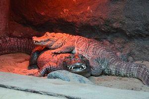 Cặp cá sấu sống 50 năm với nhau nhưng không sinh sản và nguyên nhân không ai ngờ
