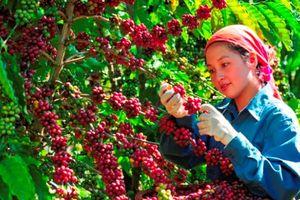 Nông sản ngày 24/1: Cà phê tăng 100 đồng