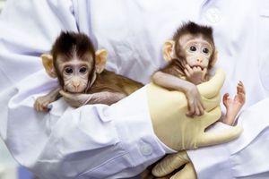 Trung Quốc nhân bản thành công khỉ được chỉnh sửa gen cho nghiên cứu y học