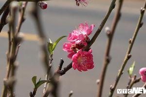 Hoa đào Nhật Tân 3 màu độc lạ đắt khách ở Tây Nguyên