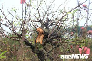 Hàng trăm cây đào bị phá hoại ở Bắc Ninh: Yêu cầu làm rõ vụ việc trước Tết
