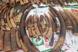 Phát hiện 500 kg ngà voi và hơn 1,5 tấn vảy tê tê trong lô gỗ gõ