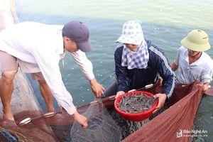 Gần Tết, nông dân Nghệ An thu hoạch tôm vụ 3 bán giá cao