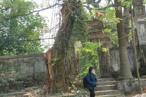 Ngày mai chặt hạ cây sưa từng được đại gia trả giá 100 tỷ ở Hà Nội