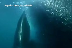 Cá voi xanh mở miệng nuốt chửng đàn cá khổng lồ