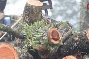 Hà Nội: Cận cảnh chặt hạ cây sưa trăm tỷ chờ đấu giá