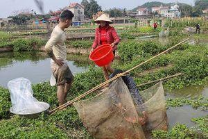 Thủ phủ cá chép đỏ xuất 50 tấn cá phục vụ ông Công ông Táo