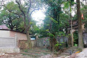 Người dân chặt hạ cây sưa trăm tỷ ở Hà Nội