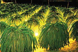 Bình Thuận: Nhà vườn chong đèn 'sưởi' ấm thanh long Tết 2019