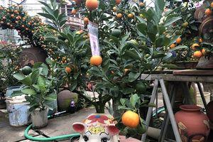Quất bonsai Tứ Liên hút khách dịp Tết